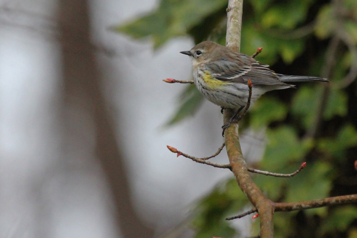 Yellow-rumped Warbler / 21 Mar / Courthouse Woods