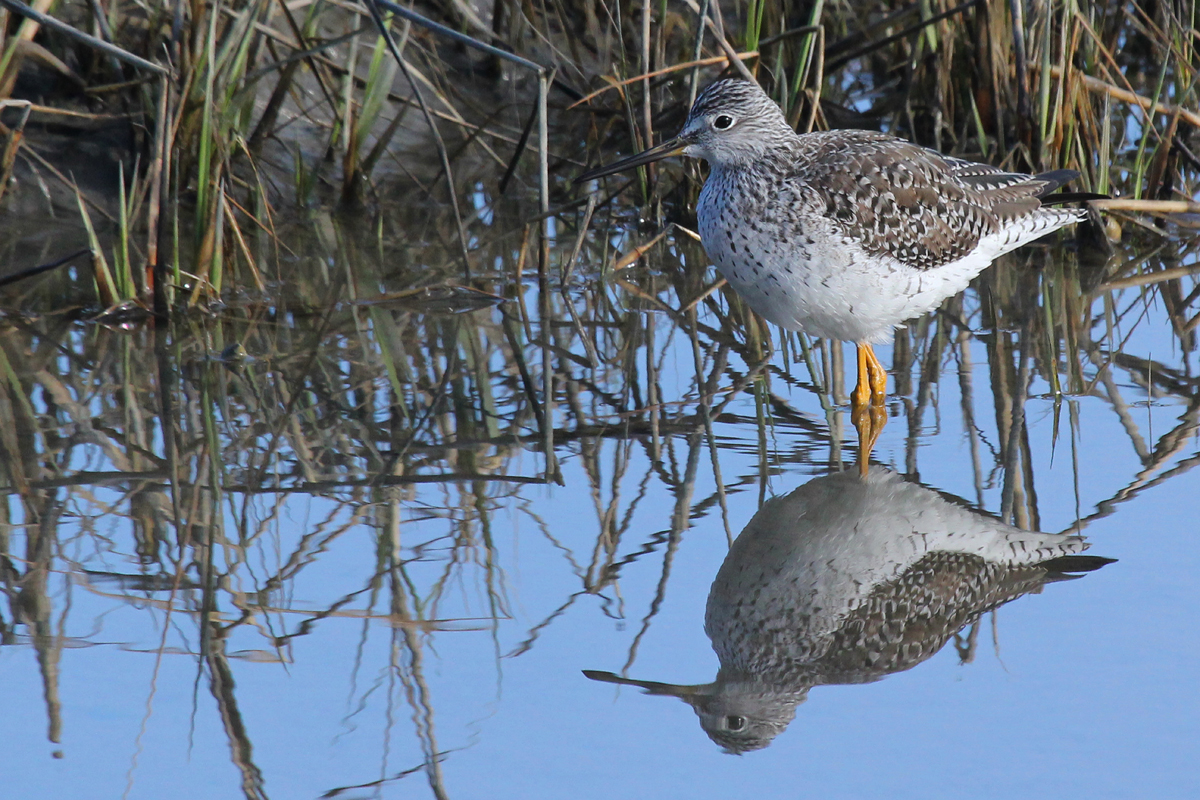 Greater Yellowlegs / 22 Mar / Pleasure House Point NA