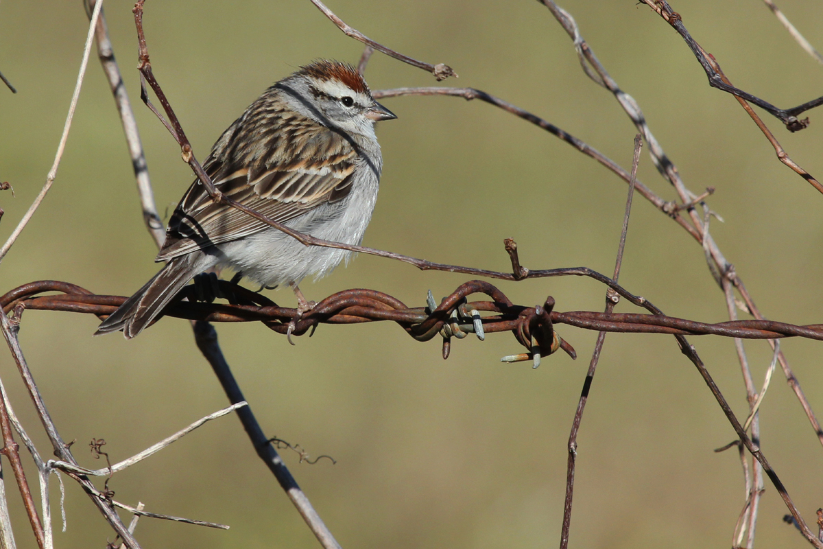 Chipping Sparrow / 31 Mar / Fitztown Rd.