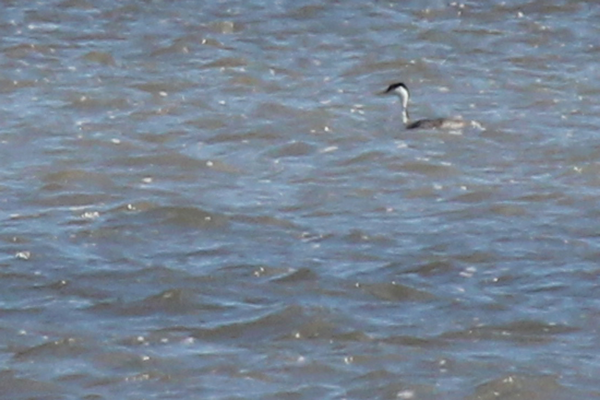 Western Grebe / 8 Apr / Horn Point Road Boat Ramp