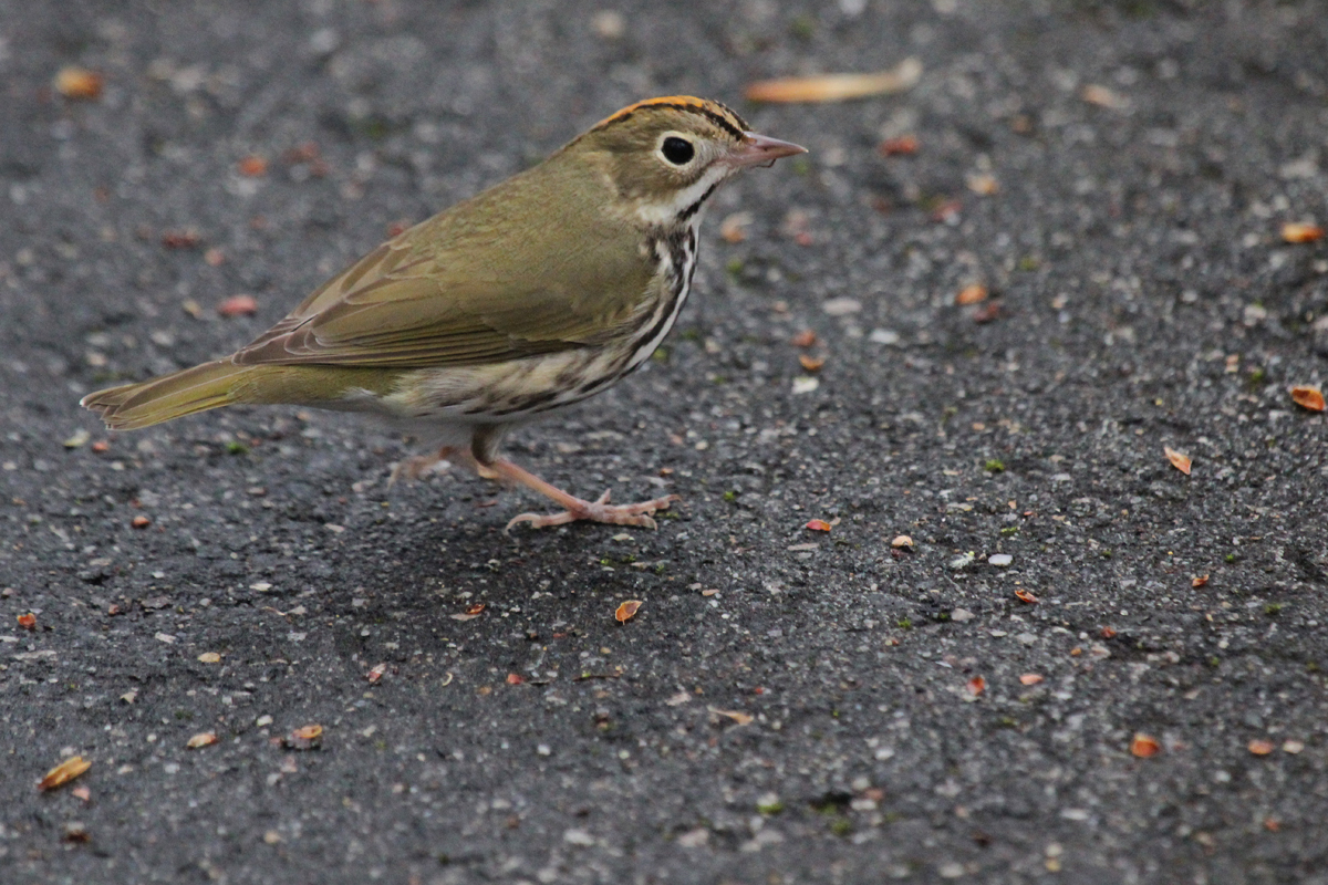 Ovenbird / 4 Apr / West Neck Creek NA