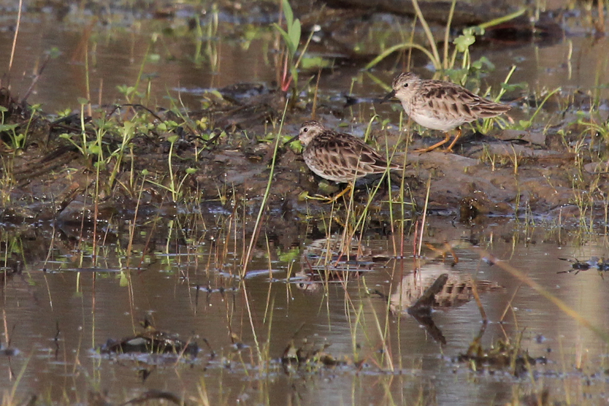 Least Sandpipers / 1 Apr / Princess Anne WMA Whitehurst Tract
