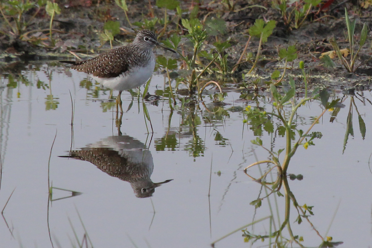 Solitary Sandpiper / 8 Apr / Princess Anne WMA Beasley Tract