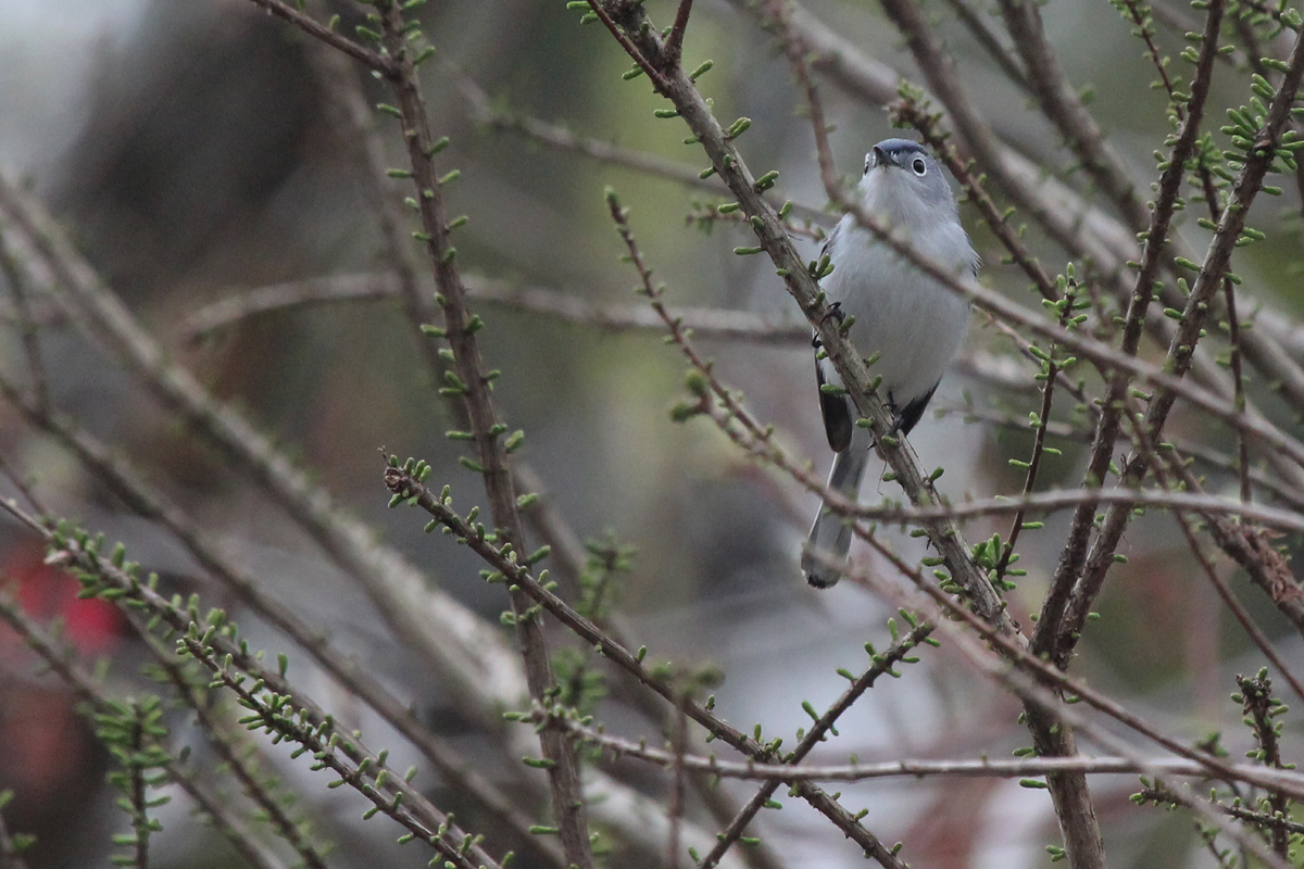 Blue-gray Gnatcatcher / 4 Apr / Stumpy Lake NA