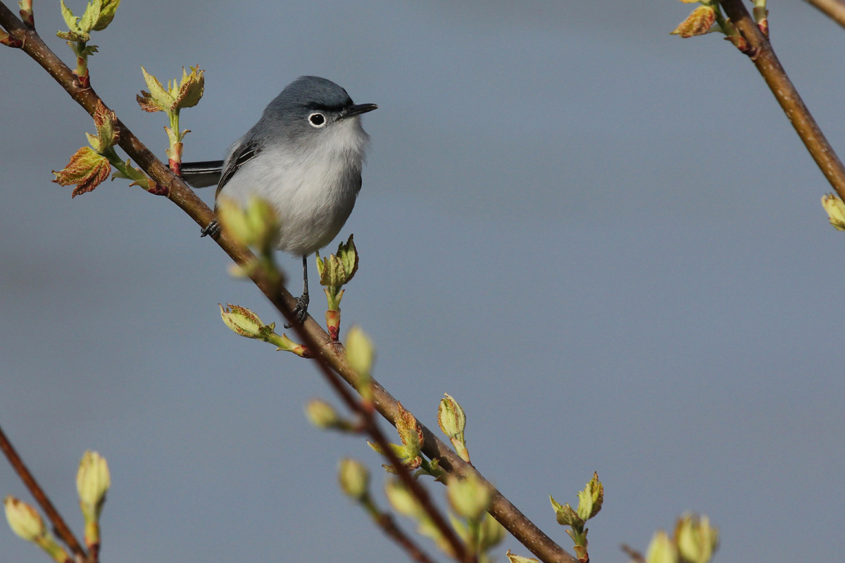 Blue-gray Gnatcatcher / 6 Apr / Stumpy Lake NA