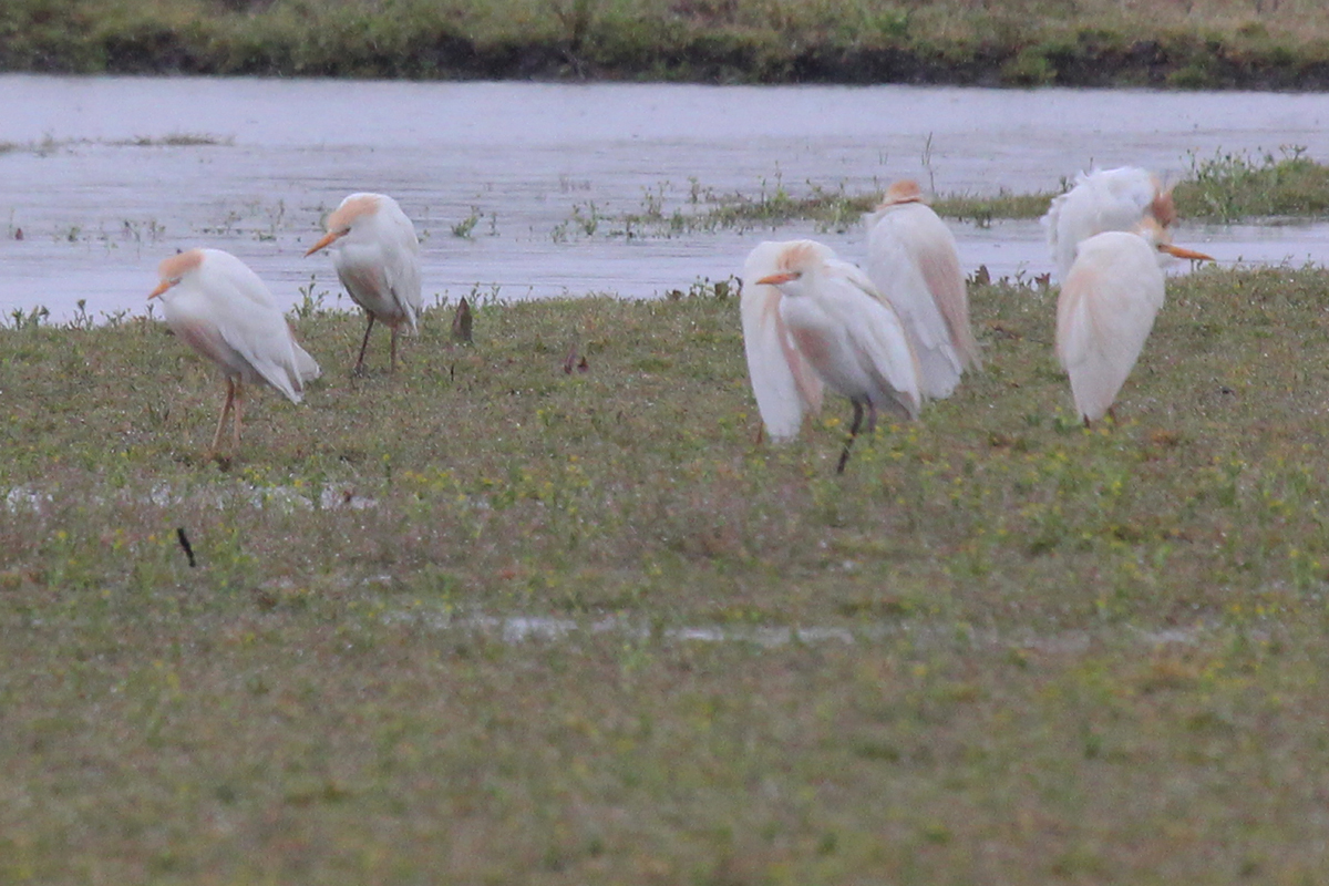 Cattle Egrets / 7 Apr / Muddy Creek Road