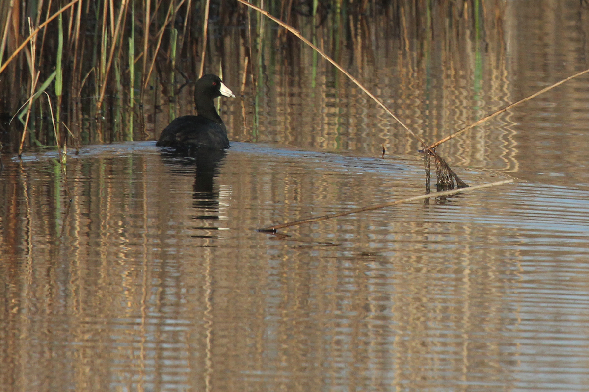 American Coot / 1 Apr / Princess Anne WMA Whitehurst Tract