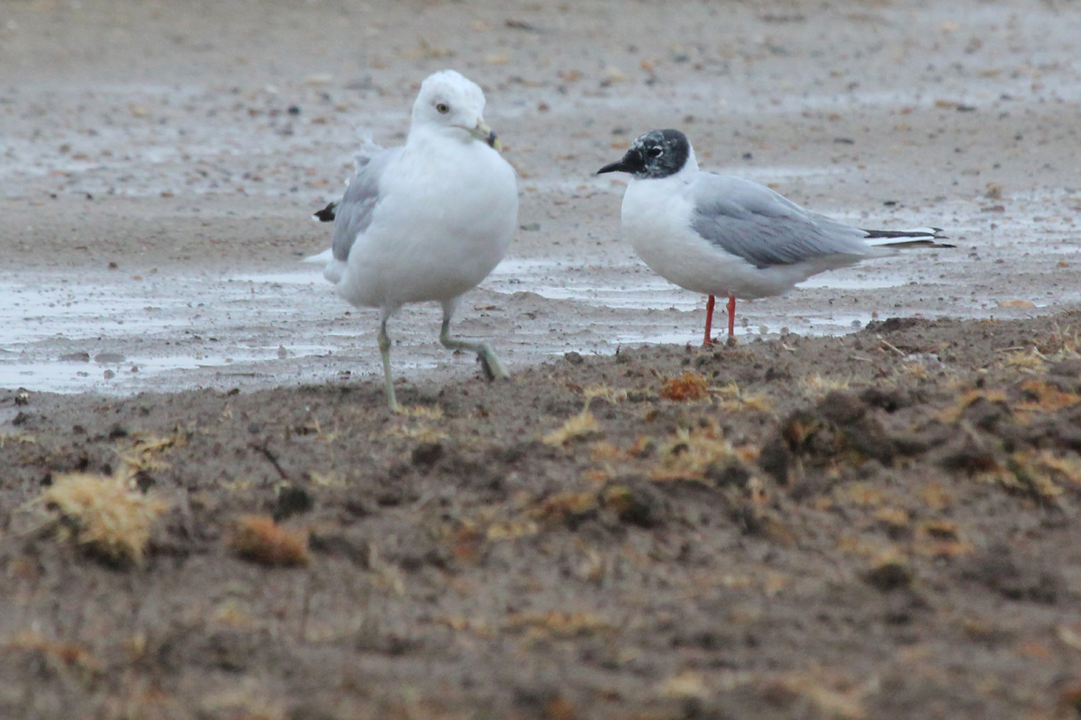 Ring-billed & Bonaparte's Gulls / 7 Apr / Morris Neck Road