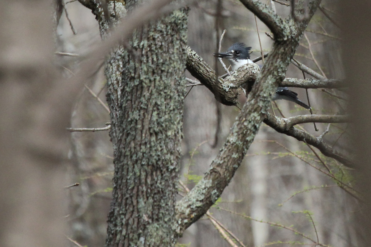 Belted Kingfisher / 1 Apr / Stumpy Lake NA