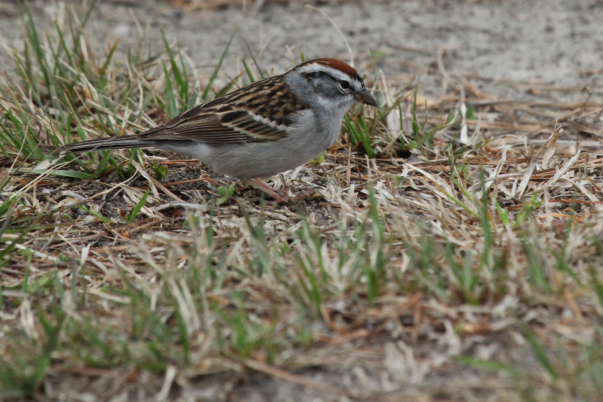 Chipping Sparrow / 4 Apr / Stumpy Lake NA