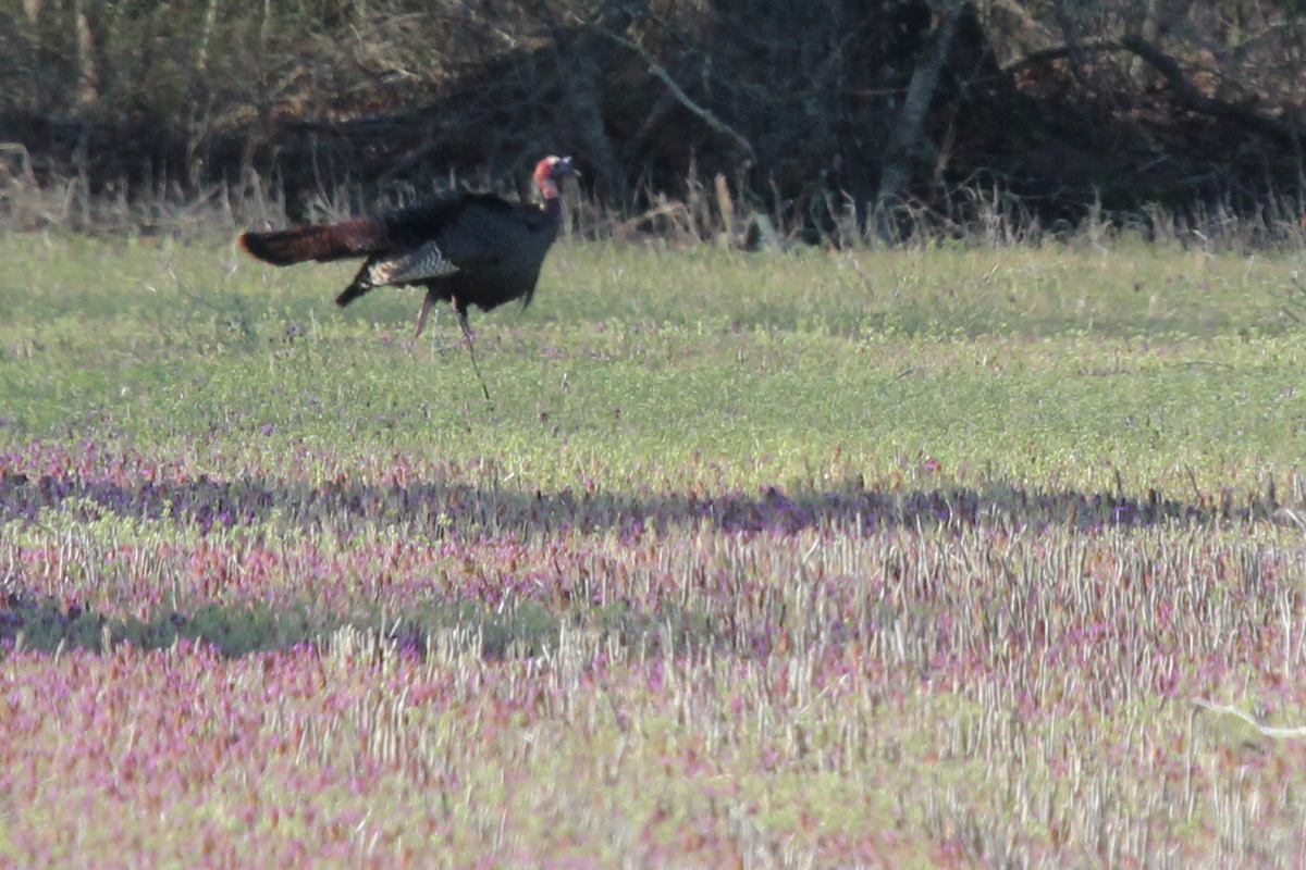 Wild Turkey / 8 Apr / Pleasant Ridge Road