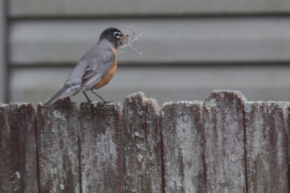 American Robin / 10 Apr / Courthouse Woods (Private)