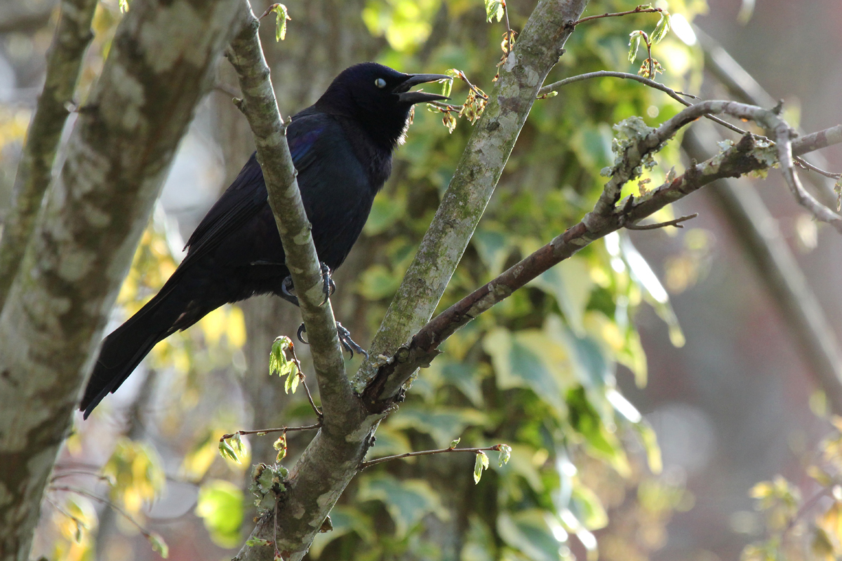 Common Grackle / 10 Apr / Courthouse Woods (Private)