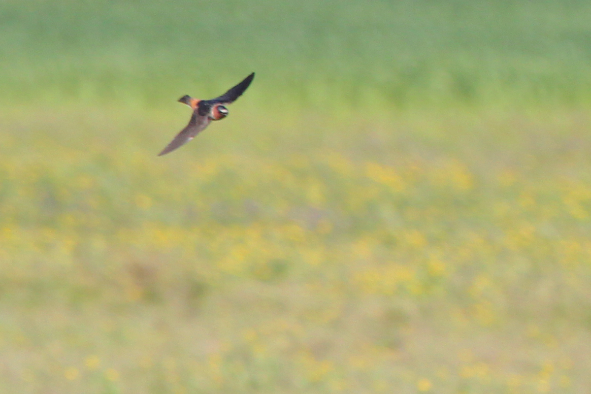 Cliff Swallow / 17 Apr / Back Bay Landing Rd.