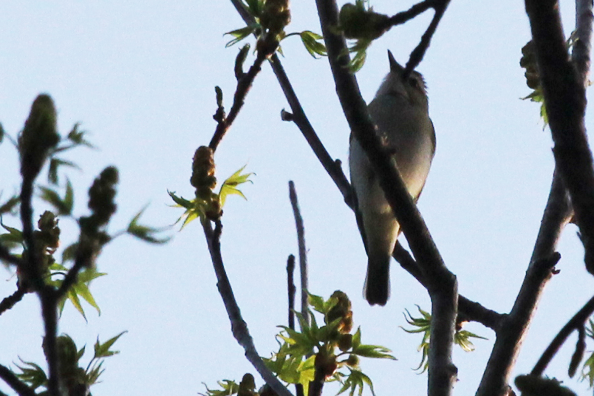 Red-eyed Vireo / 14 Apr / Stumpy Lake NA