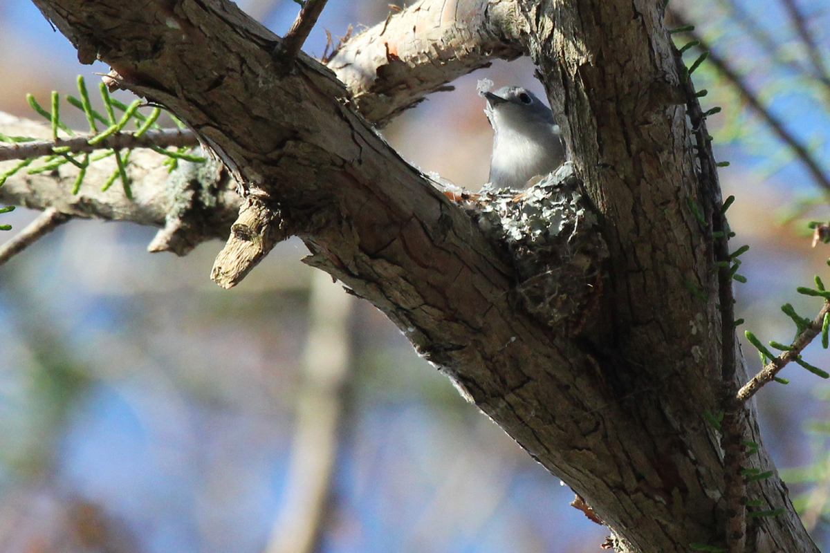 Blue-gray Gnatcatcher / 14 Apr / Stumpy Lake NA