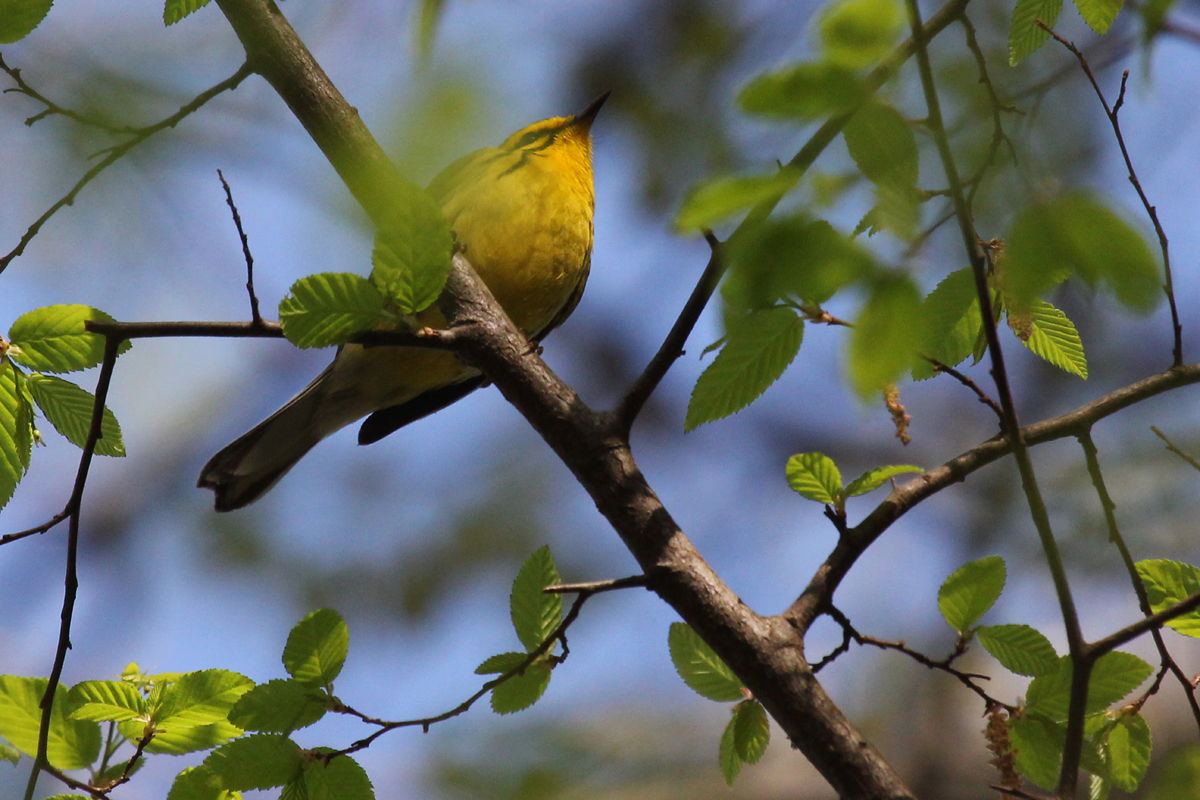 Prairie Warbler / 14 Apr / Red Wing Park