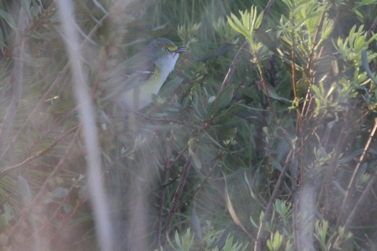 White-eyed Vireo / 15 Apr / Princess Anne WMA Whitehurst Tract