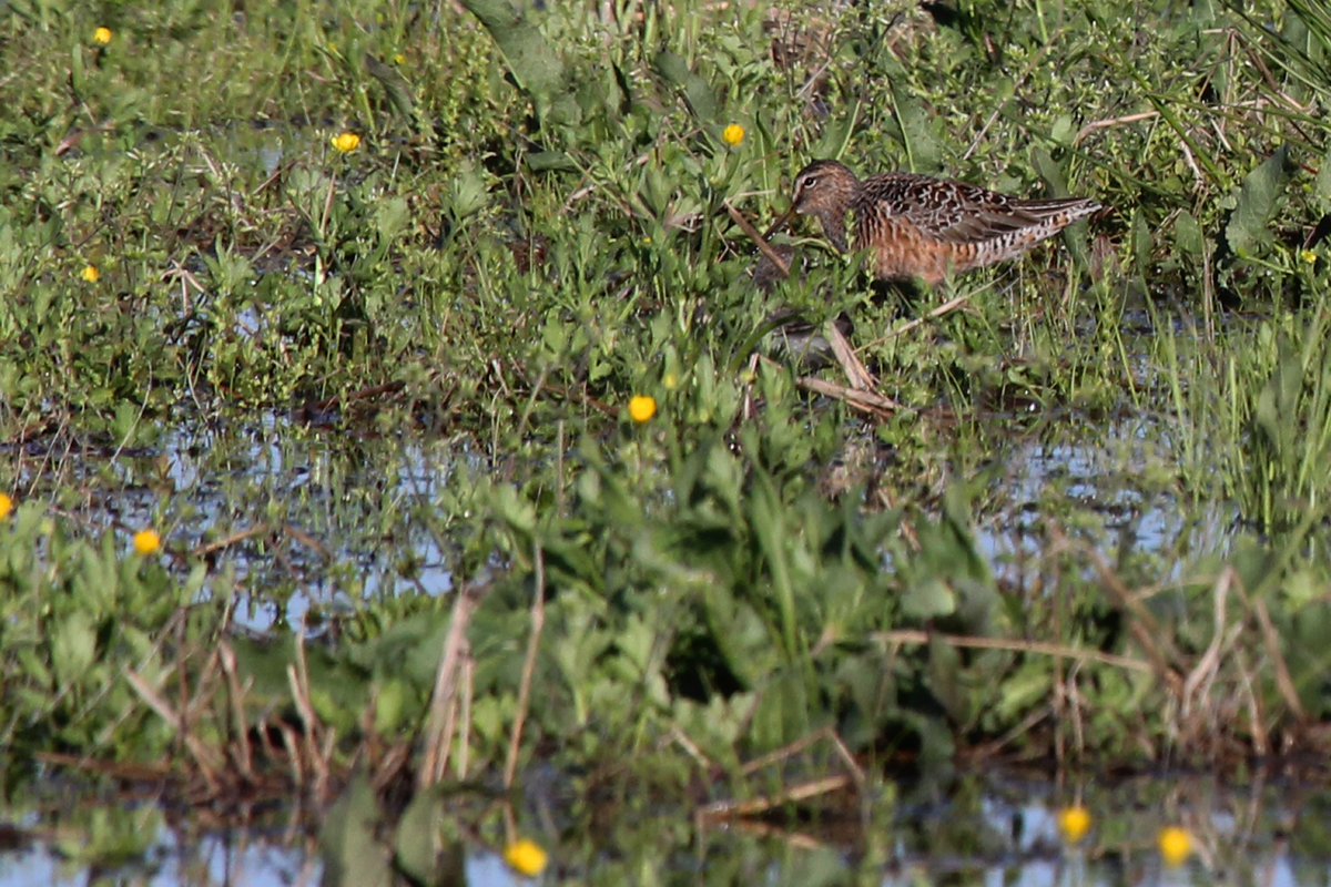 Short-billed Dowitcher / 17 Apr / Back Bay Landing Rd.