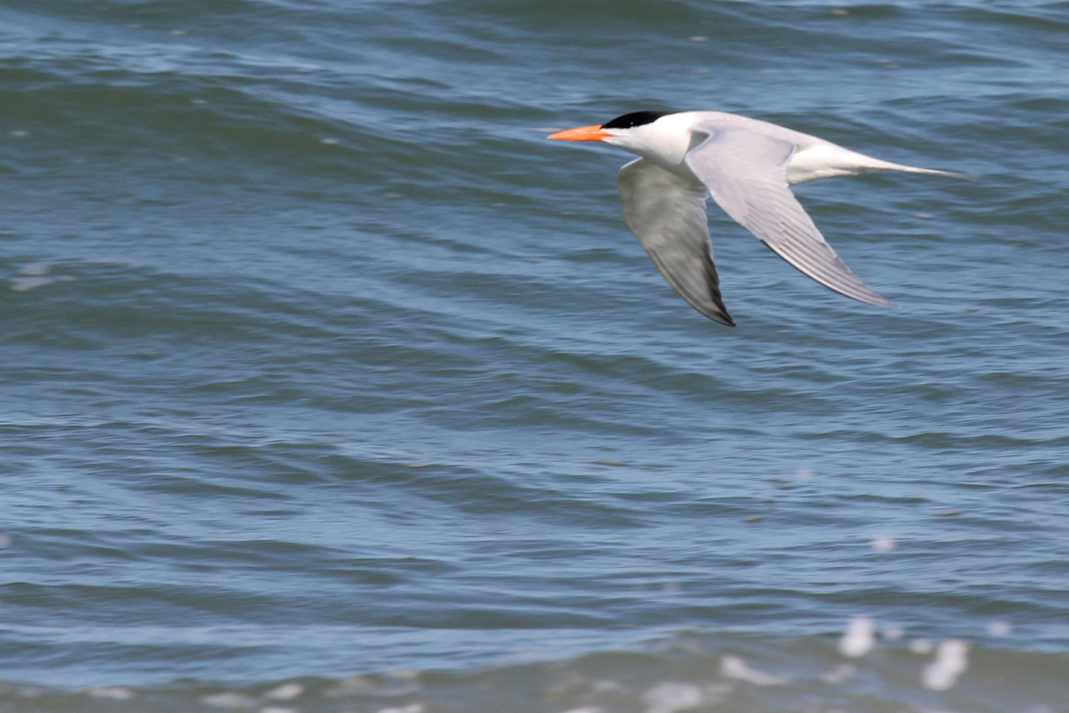 Royal Tern / 20 Apr / Back Bay NWR