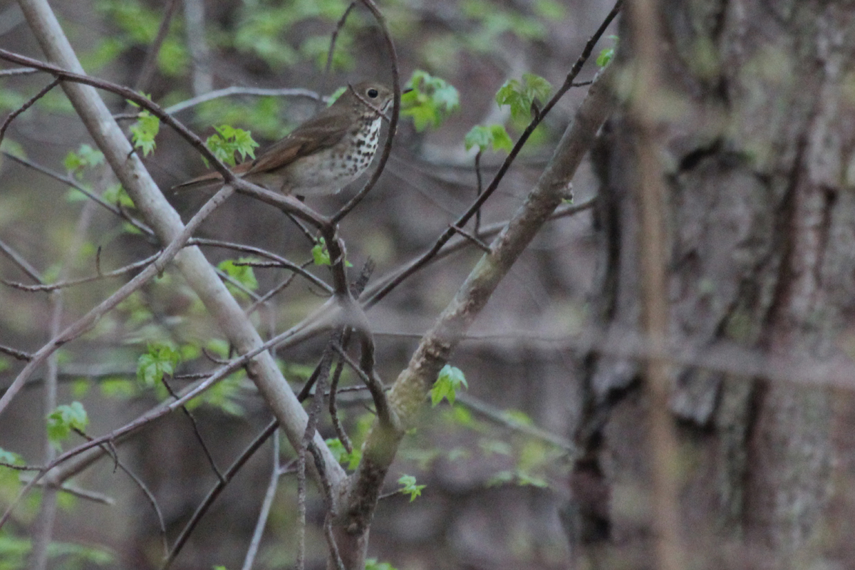 Hermit Thrush / 14 Apr / Stumpy Lake NA