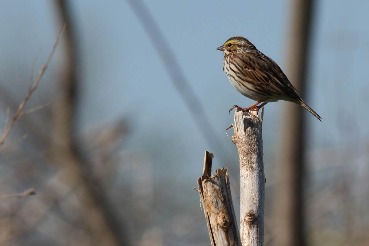 Savannah Sparrow (Savannah) / 17 Apr / Grimstead Rd.
