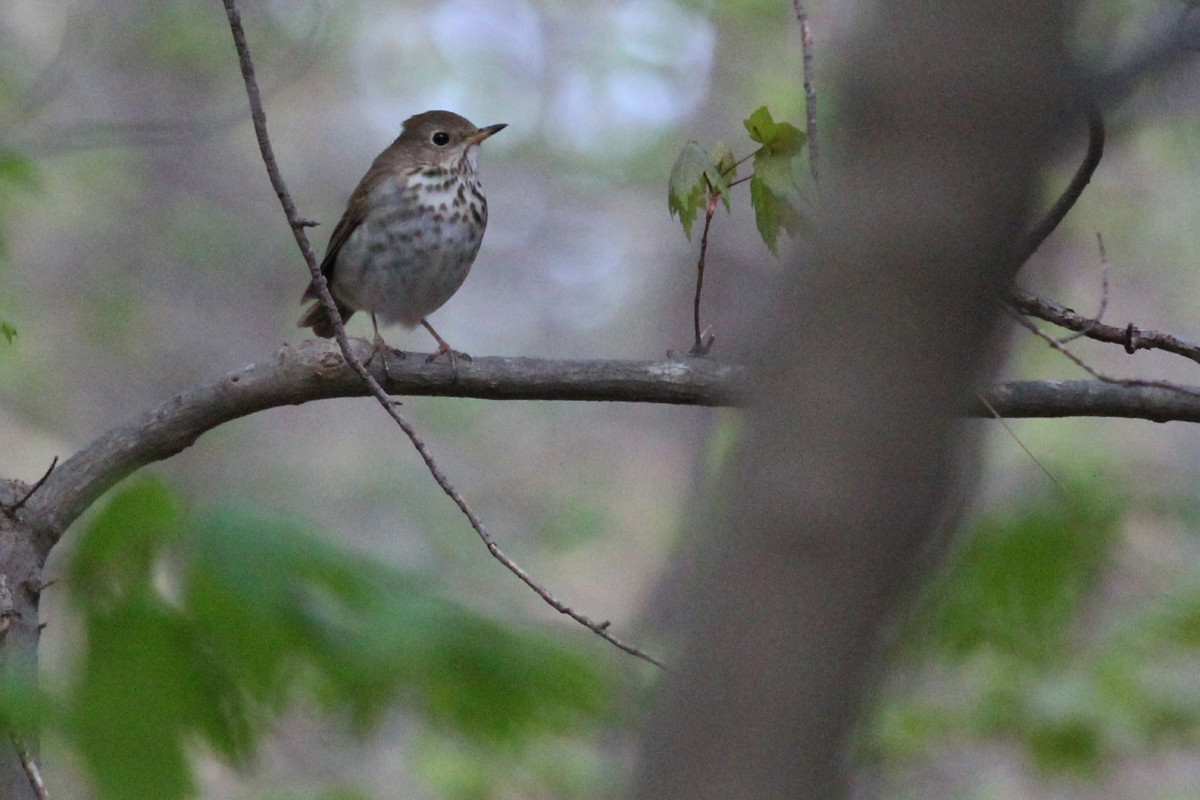 Hermit Thrush / 19 Apr / Red Wing Park