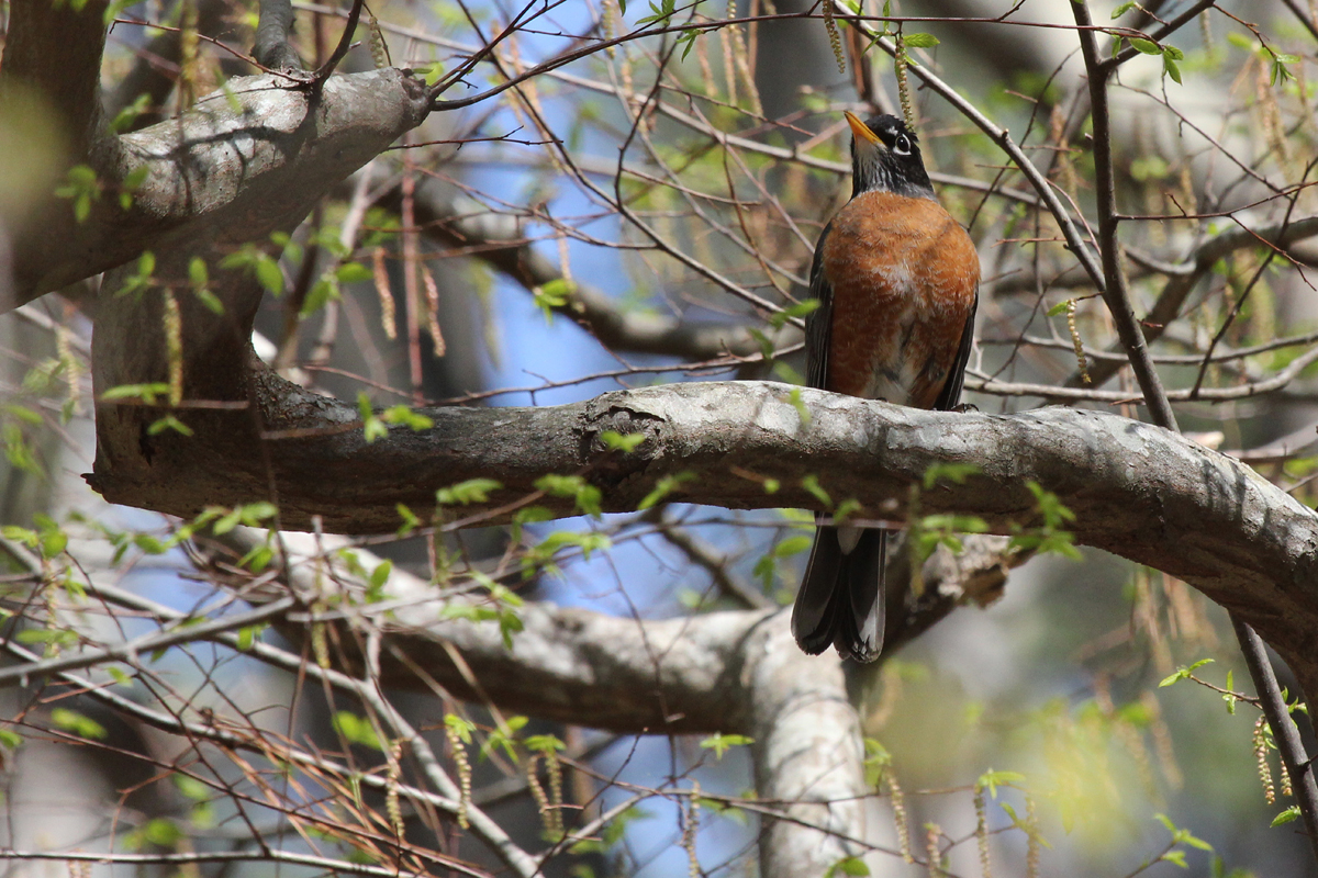 American Robin / 14 Apr / Red Wing Park