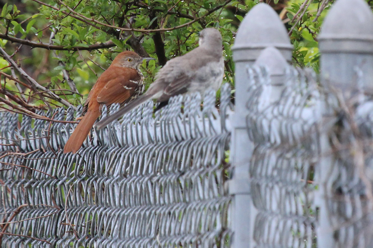 Brown Thrasher & Northern Mockingbird / 15 Apr / Firefall Dr.