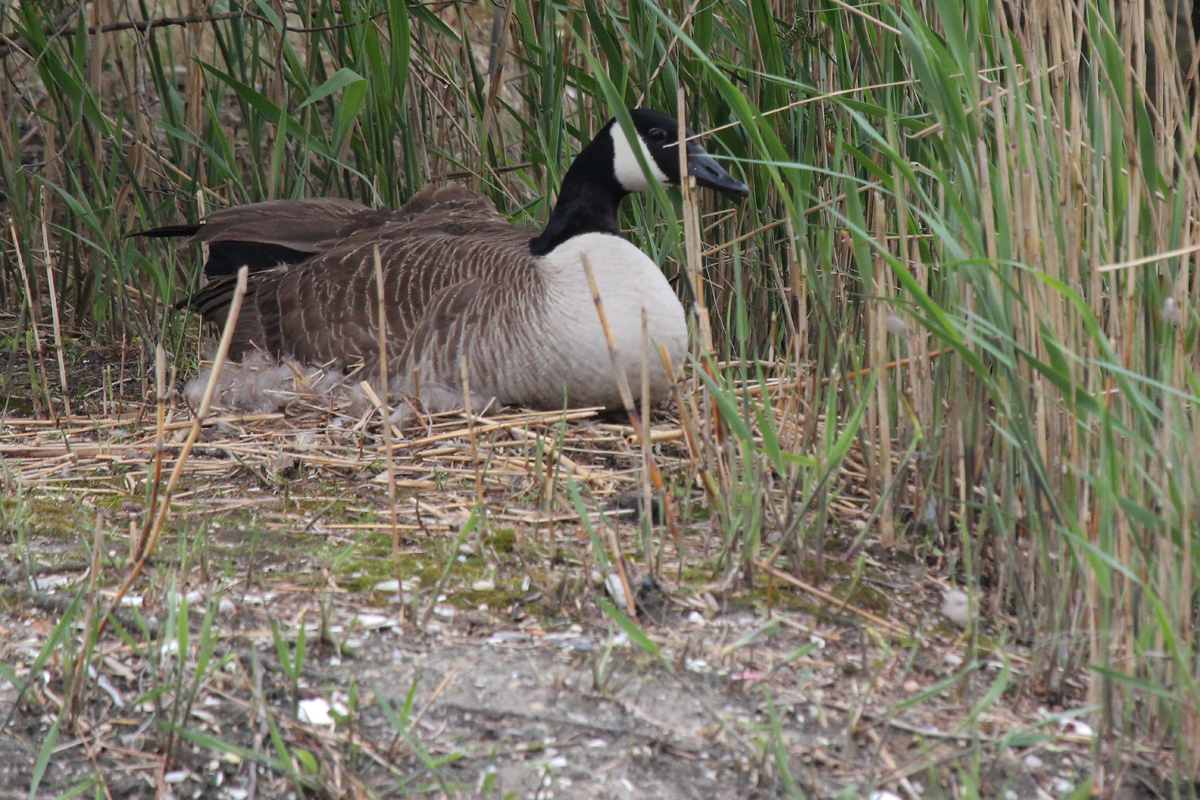 Canada Goose / 16 Apr / Lake Windsor