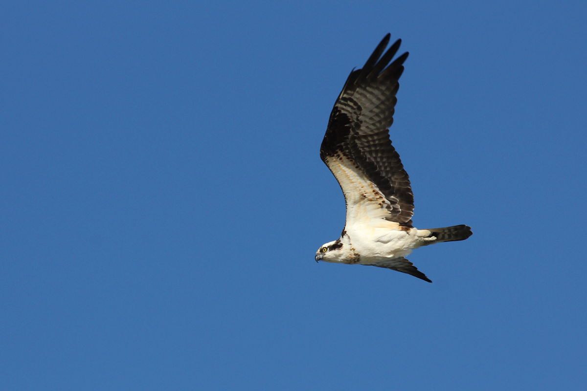 Osprey / 20 Apr / Back Bay NWR