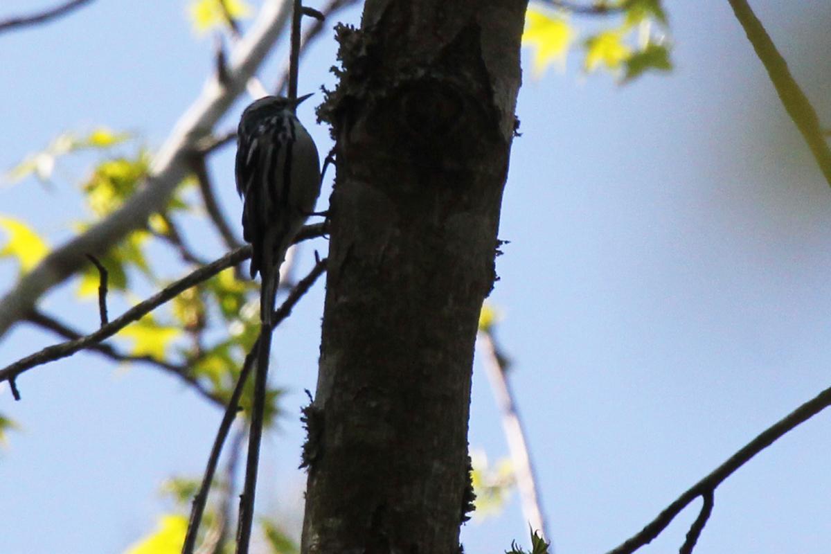 Black-and-white Warbler / 21 Apr / Marshview Park