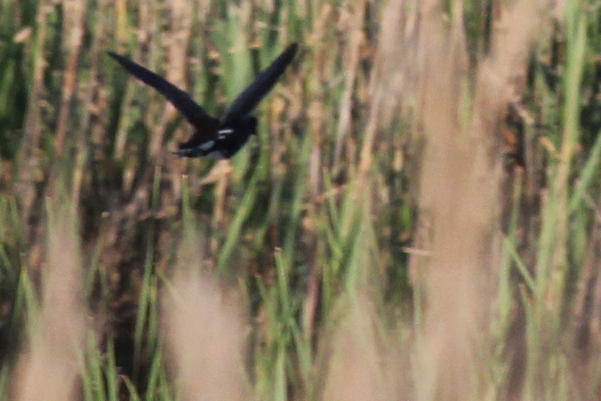 Common Gallinule / 22 Apr / Princess Anne WMA Whitehurst Tract