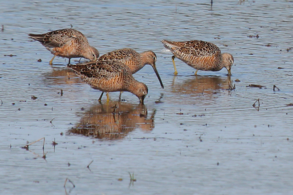 Long-billed Dowitchers / 22 Apr / Princess Anne WMA Whitehurst Tract