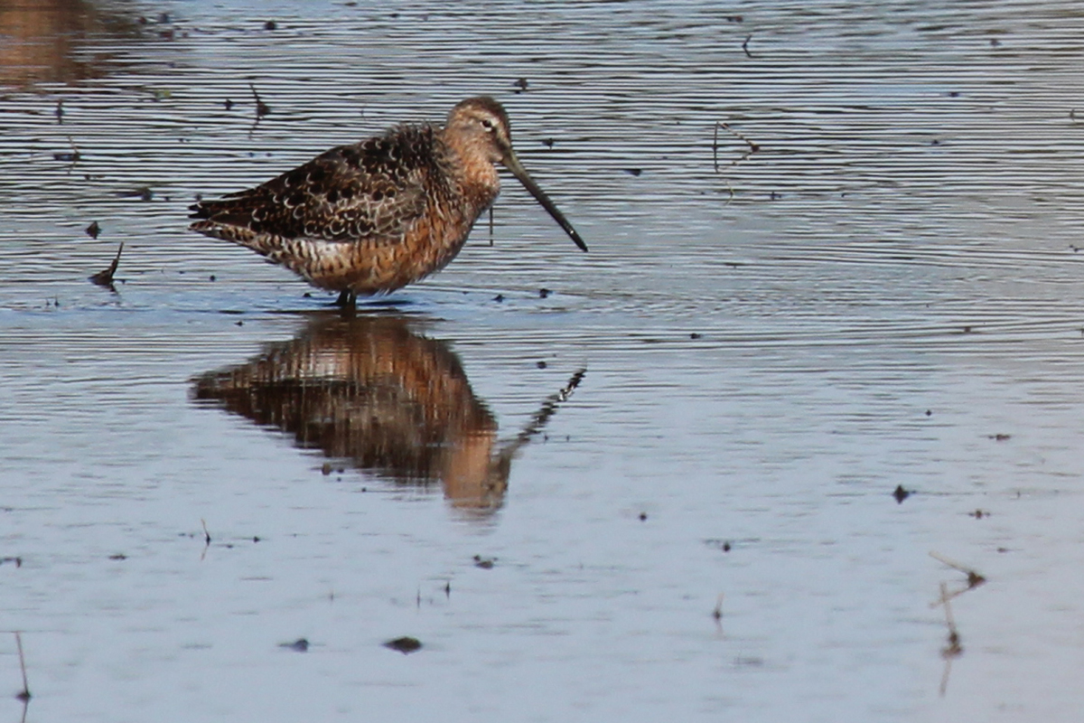 Long-billed Dowitcher / 22 Apr / Princess Anne WMA Whitehurst Tract