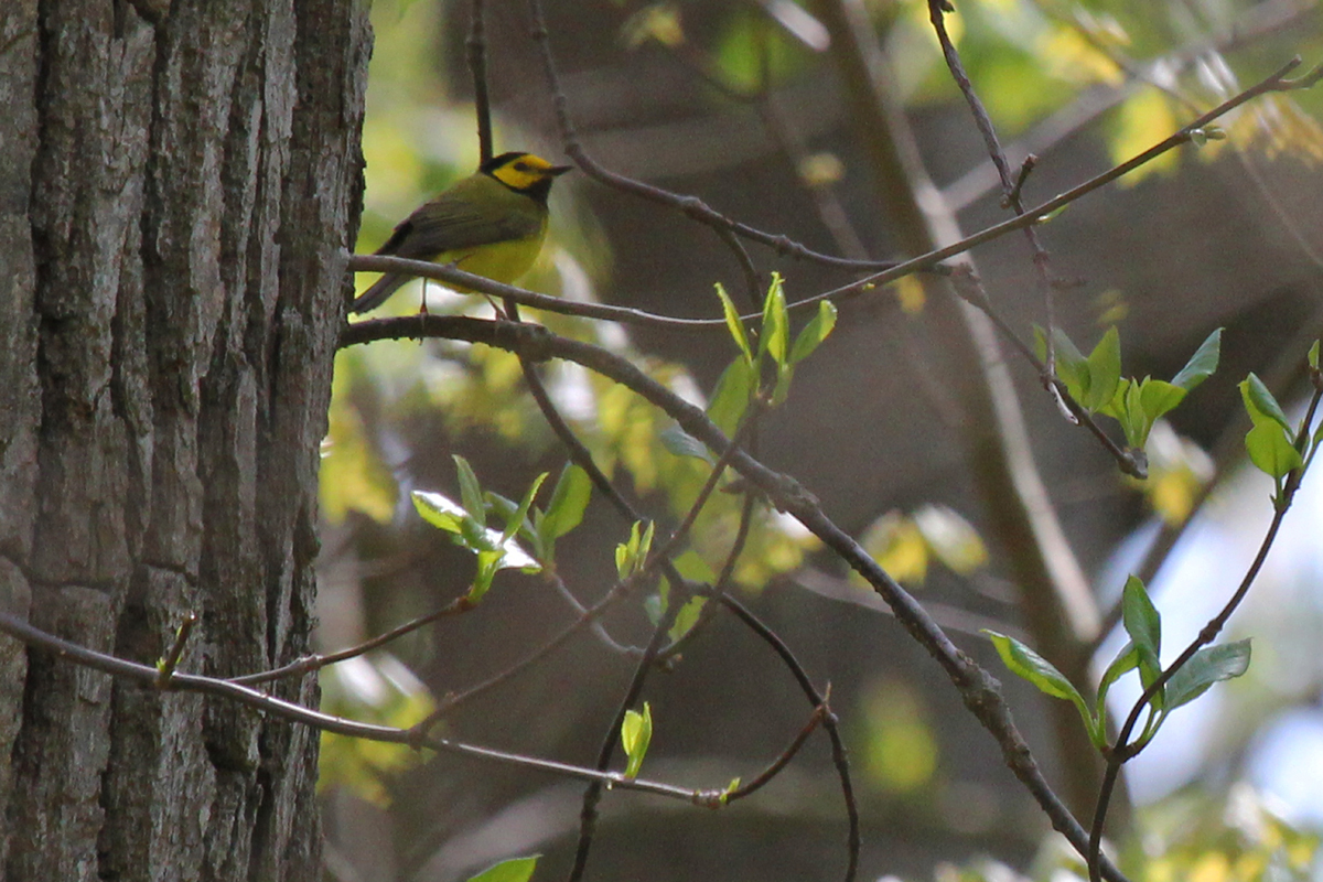 Hooded Warbler / 22 Apr / Red Wing Park