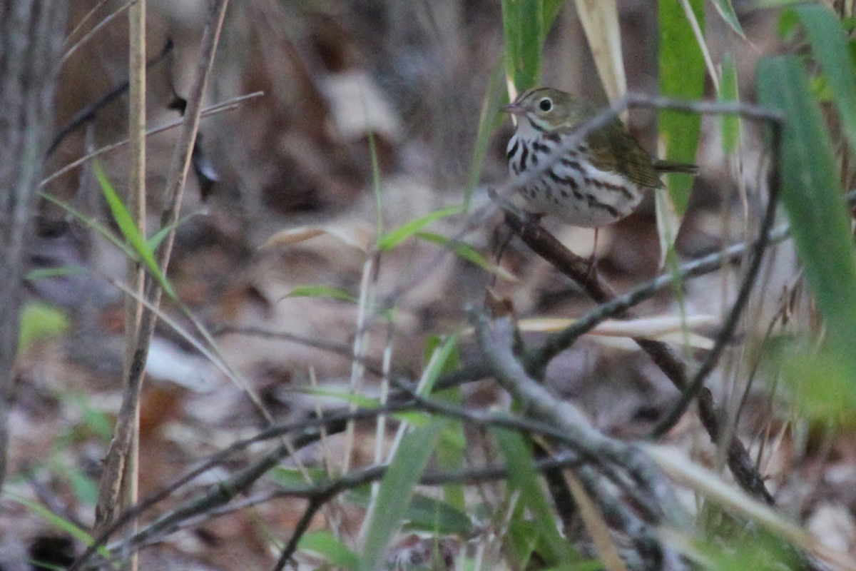 Ovenbird / 21 Apr / Stumpy Lake NA