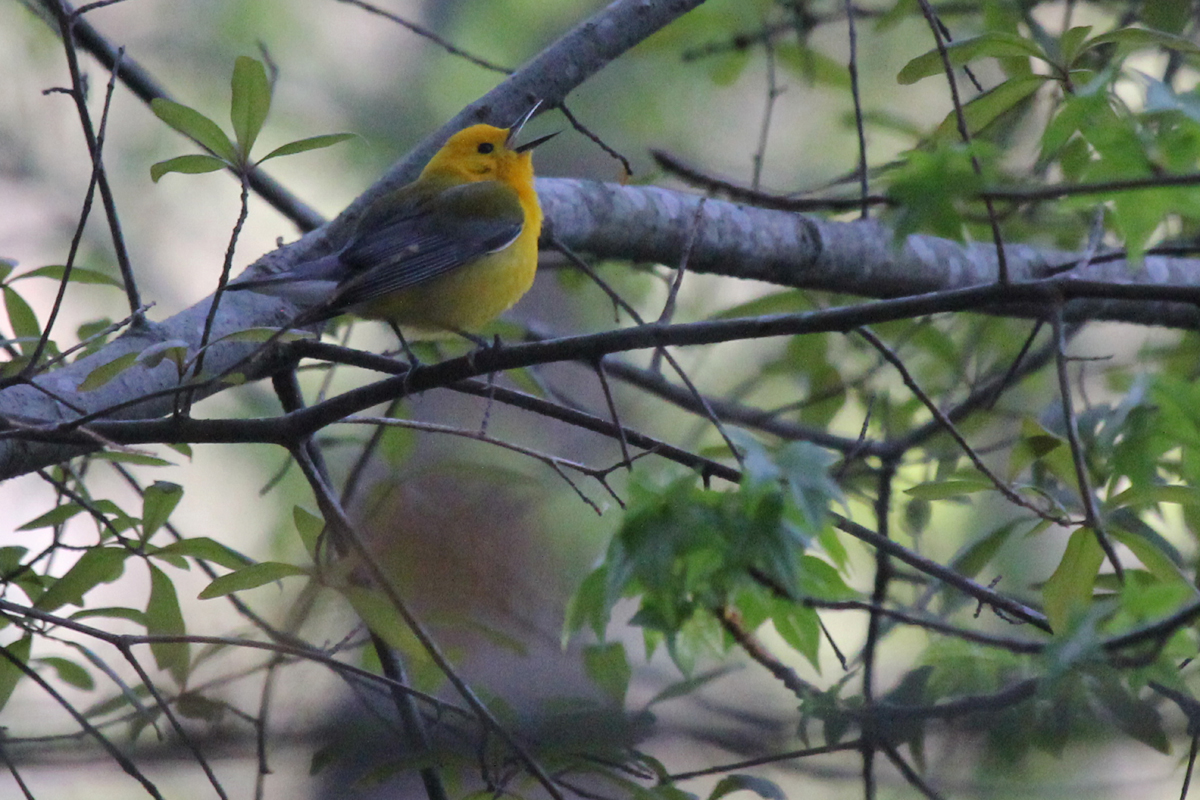Prothonotary Warbler / 21 Apr / Stumpy Lake NA