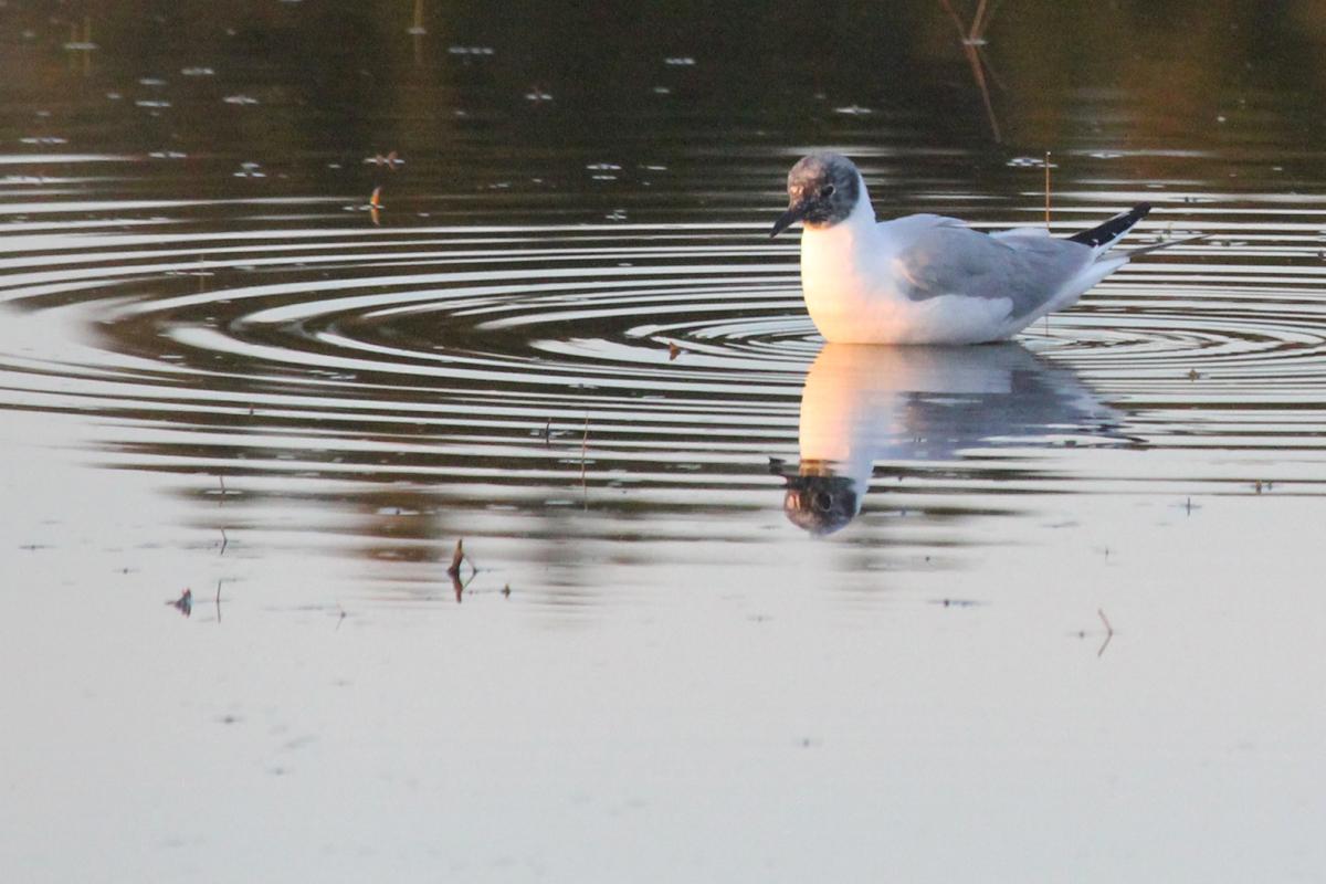 Bonaparte's Gull / 22 Apr / Princess Anne WMA Whitehurst Tract