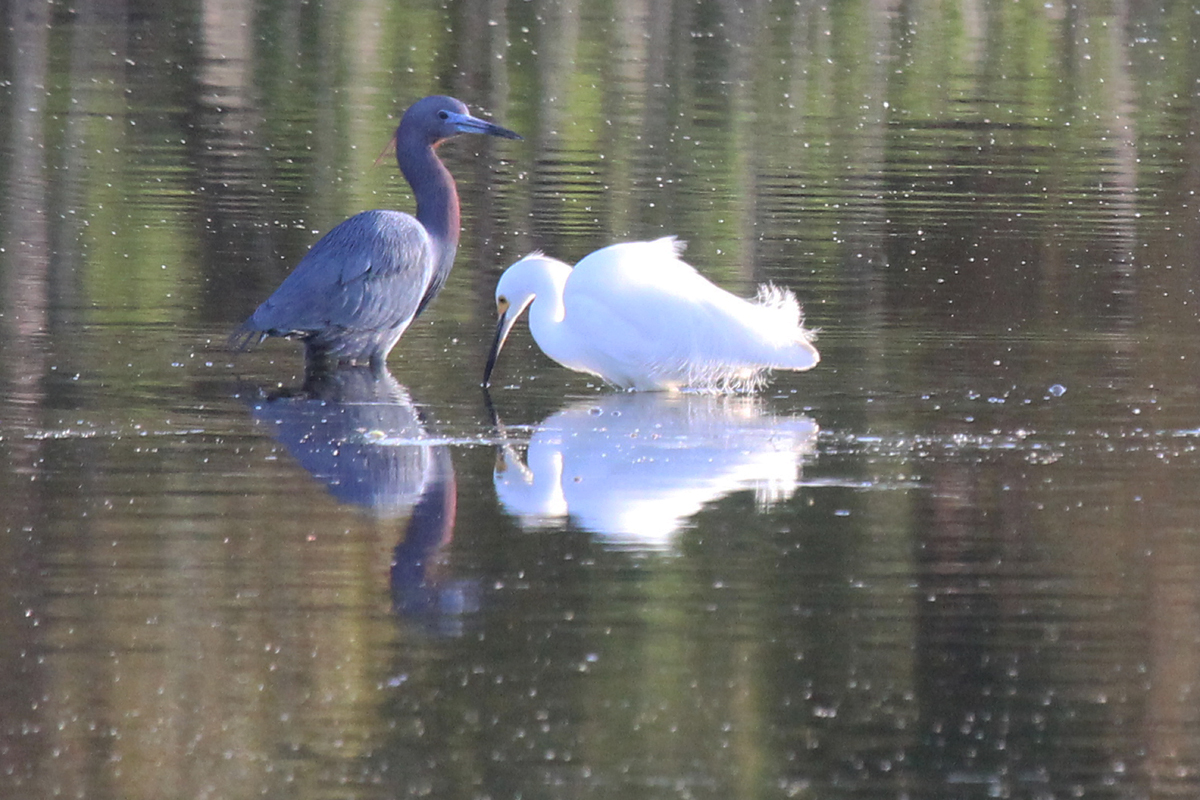 Little Blue Heron & Snowy Egret / 22 Apr / Princess Anne WMA Whitehurst Tract