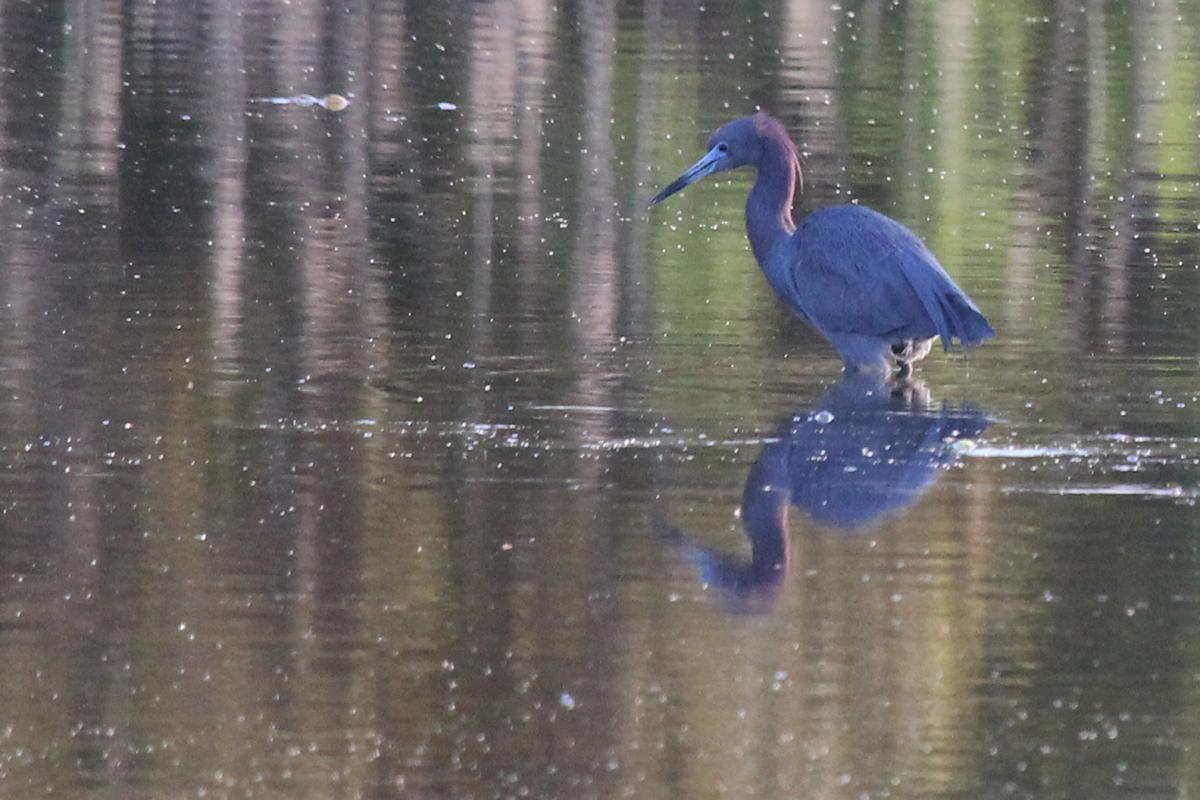 Little Blue Heron / 22 Apr / Princess Anne WMA Whitehurst Tract