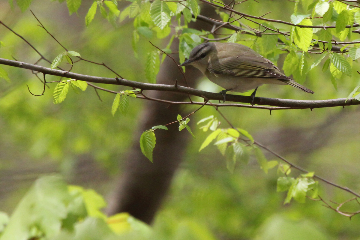 Red-eyed Vireo / 22 Apr / Red Wing Park