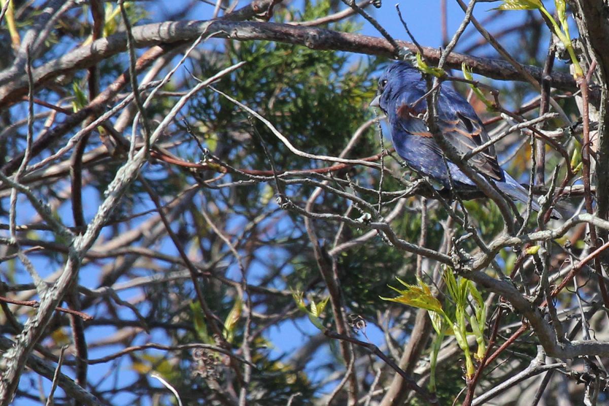 Blue Grosbeak / 22 Apr / Princess Anne WMA Whitehurst Tract