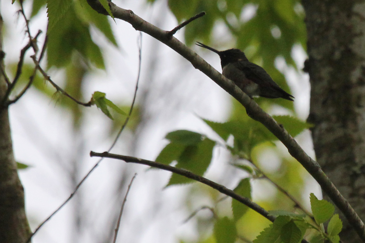 Ruby-throated Hummingbird / 23 Apr / Courthouse Woods (Private)