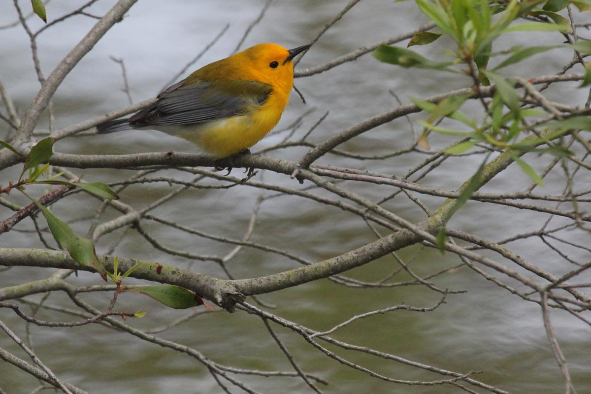 Prothonotary Warbler / 26 Apr / Stumpy Lake NA
