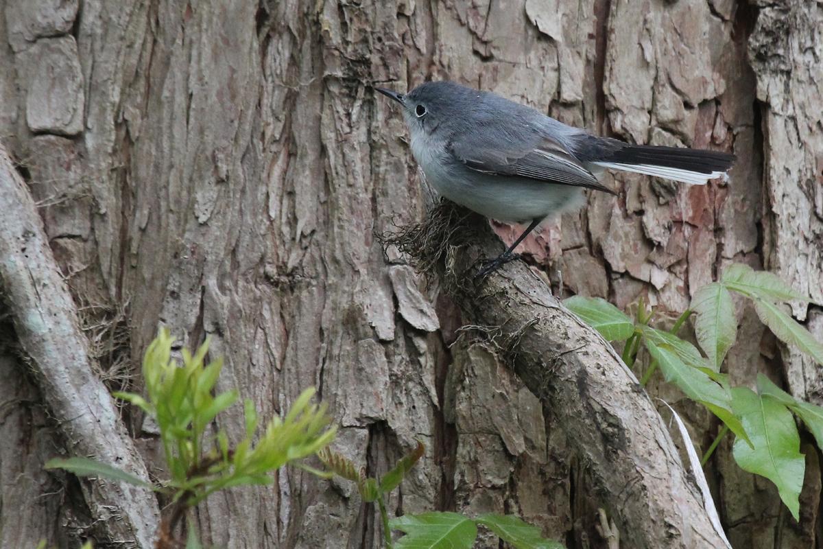 Blue-gray Gnatcatcher / 26 Apr / Stumpy Lake NA