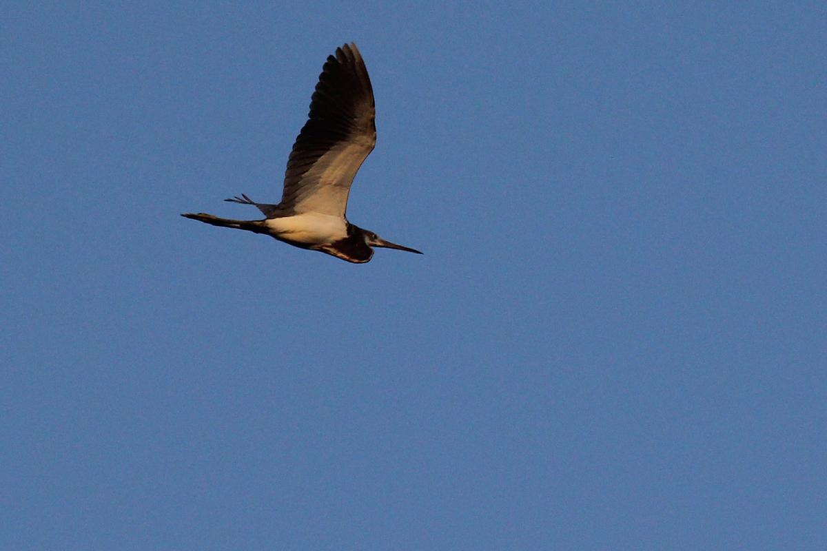 Tricolored Heron / 28 Apr / Back Bay NWR