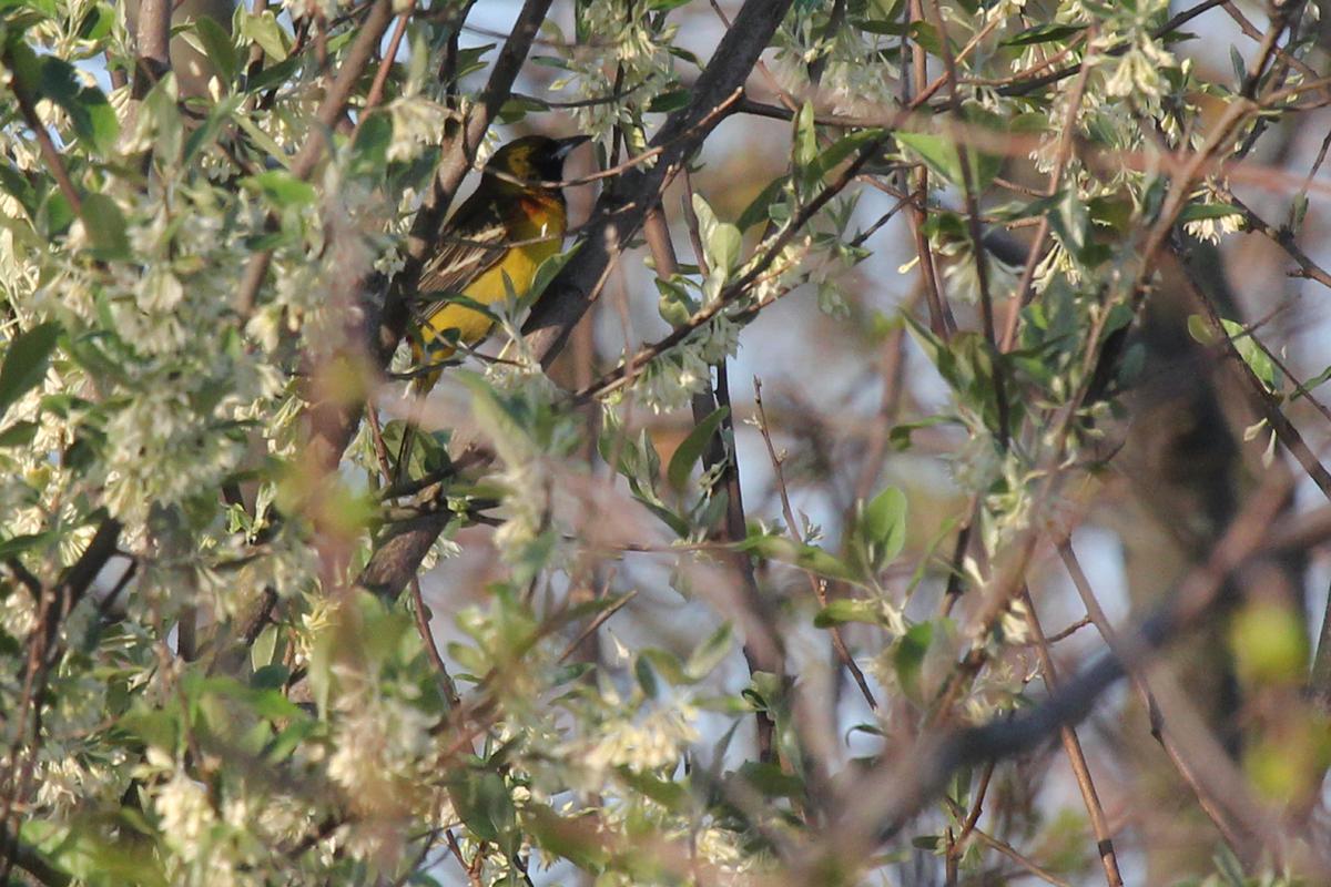 Orchard Oriole / 28 Apr / Back Bay NWR