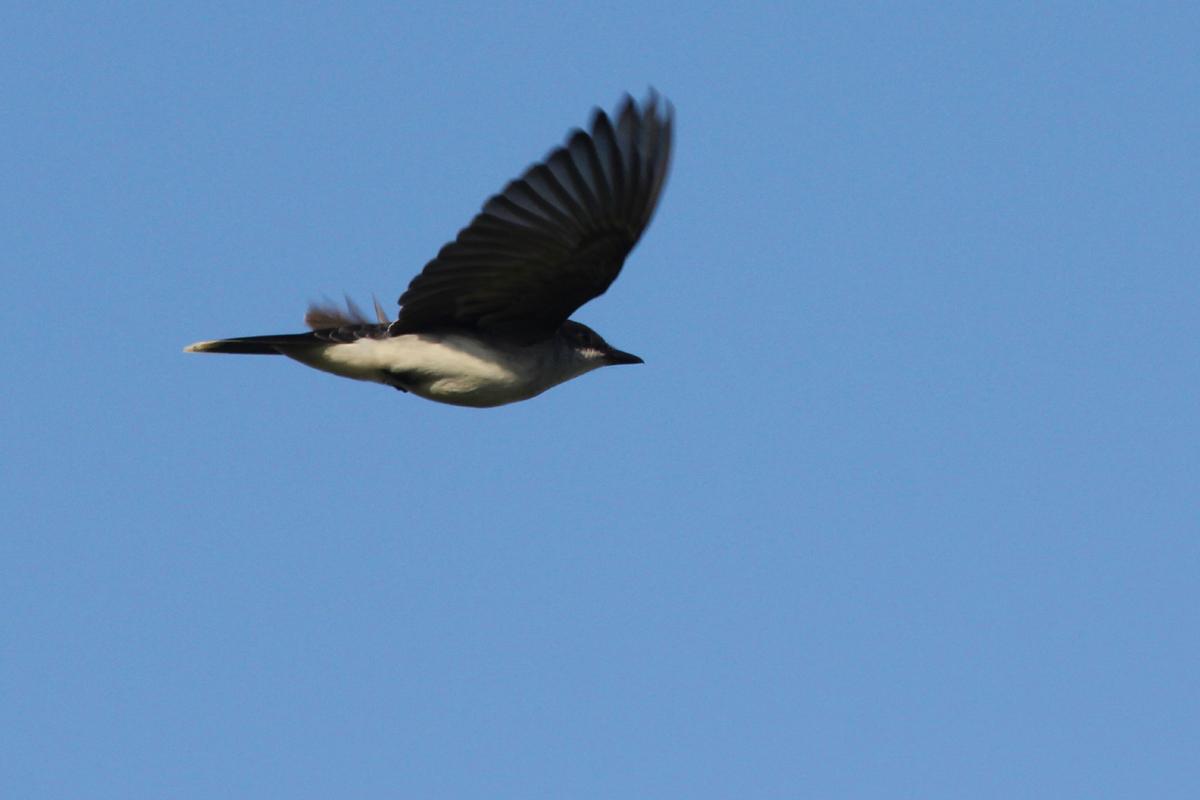 Eastern Kingbird / 28 Apr / Back Bay NWR