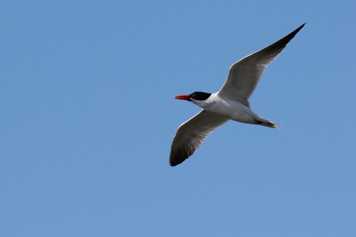 Caspian Tern / 28 Apr / Back Bay NWR
